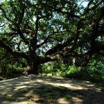 quercia delle streghe vicino montecarlo
