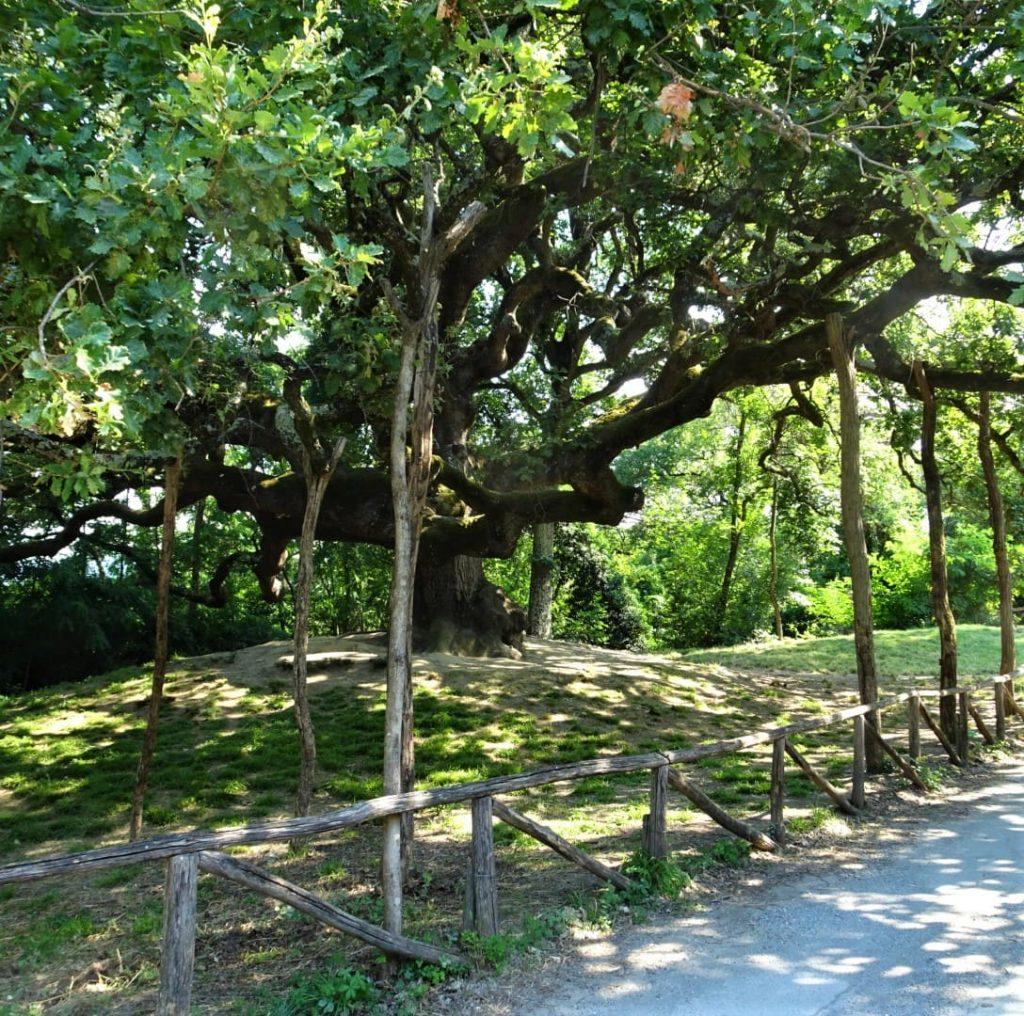 quercia delle streghe montecarlo