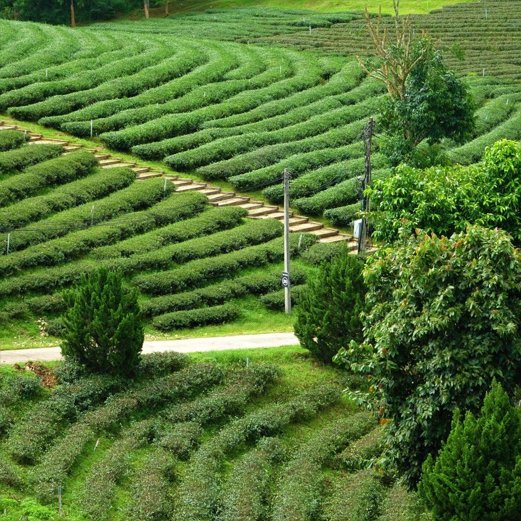 filari di tè