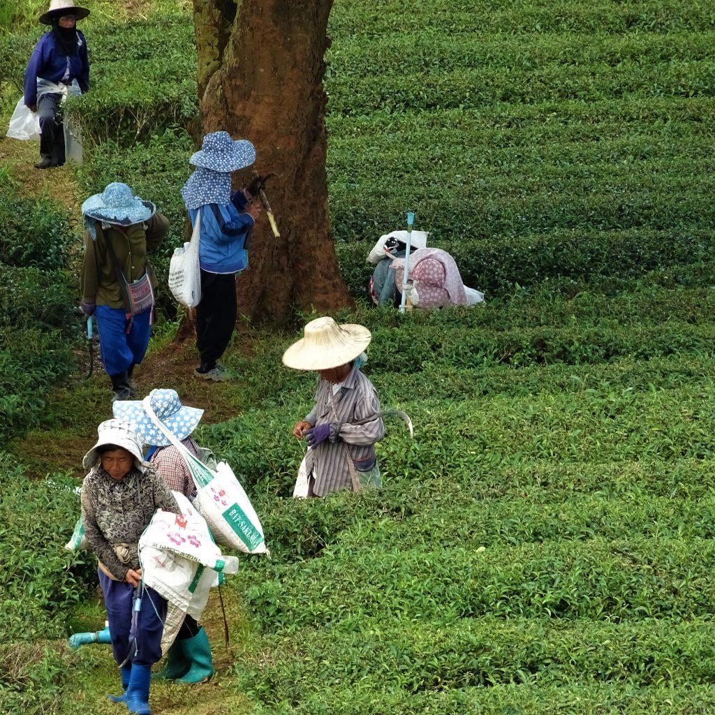 raccoglitori di tè, chiang rai