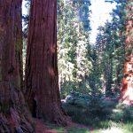 sequoie a mariposa grove