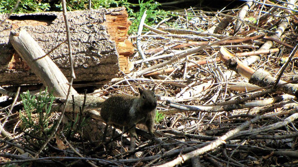 scoiattolo fra le sequoie