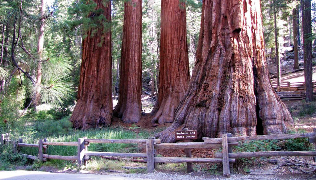 the bachelor and three graces sequoia